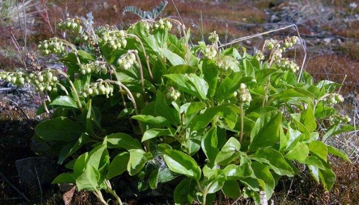Трава боровая матка — лечебные свойства для женщин